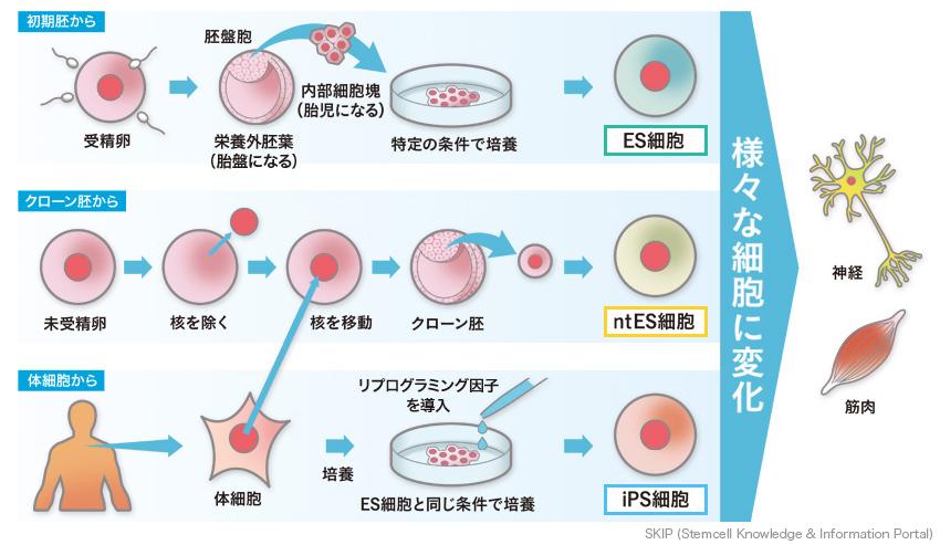 多能性幹細胞の種類   幹細胞情報データベースプロジェクトSKIP ...